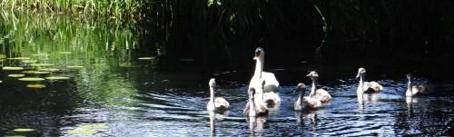 Schwanenfamilie auf dem Kanal, Weißenberg
