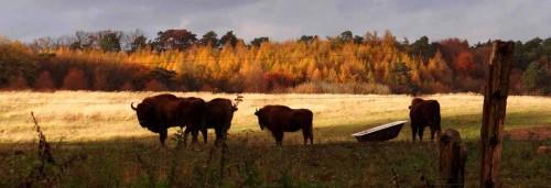 Bisons in der abendlichen Prärie
