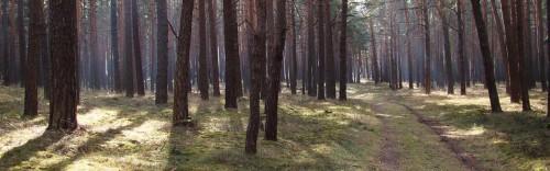 Im morgendlichen Kiefernwald am Hoheberg