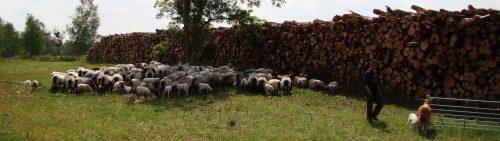 Schafherde im Konzentrat mit Ziegen-Ammen am Rand