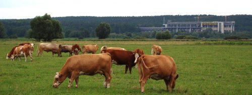 Kühe und Hebewerke