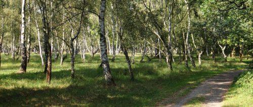 Birkenwald im Bucher Forst