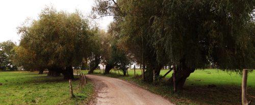 Knorrige Weidenopas auf der Pferdewiese
